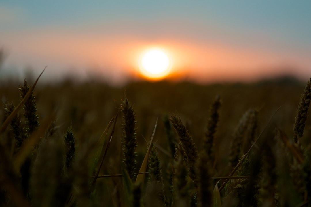 Sussex Wheat Field at Sunset